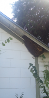 Bees under eave of Dallas house