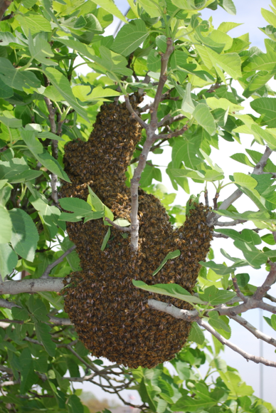Bee Swarm - Bees hanging on a tree