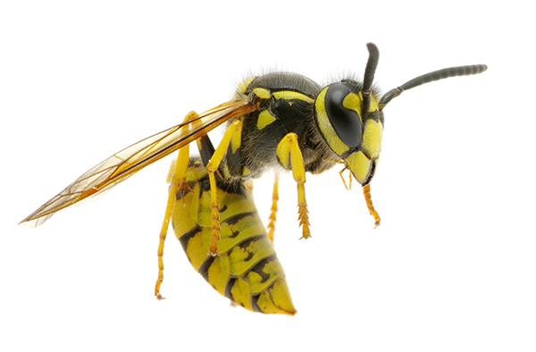 Yellow Jacket Vs Hornet Sting