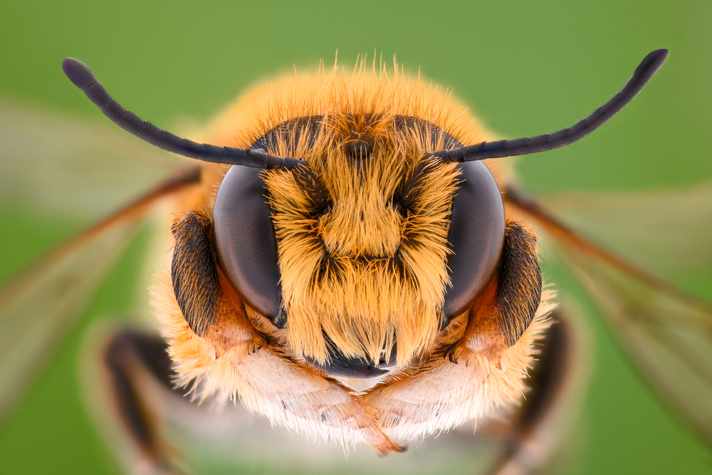 Differences Between Bees and Wasps