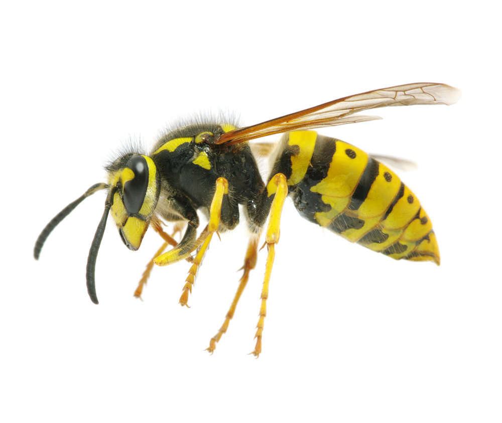 What Is The Difference Between A Yellow Jacket And A Wasp What's The ...