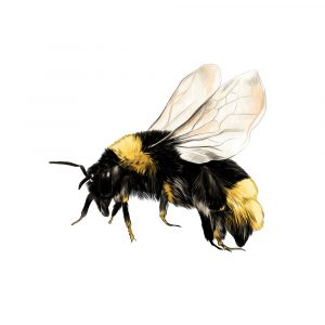 Texas Bumblebee bee removal wasp removal