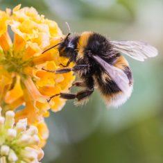 Wild Texas Bumblebee