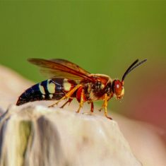 Cicada Killer beee found in Dallas, Texas