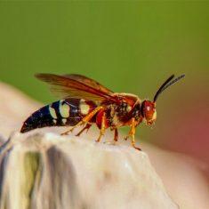 Cicada Killer beee found in Dallas, Texas