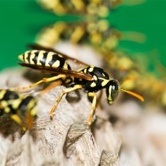 A Yellow Jacket species called Vespula