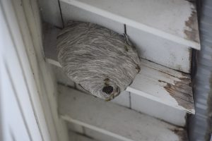 Large yellow Jacket Nest
