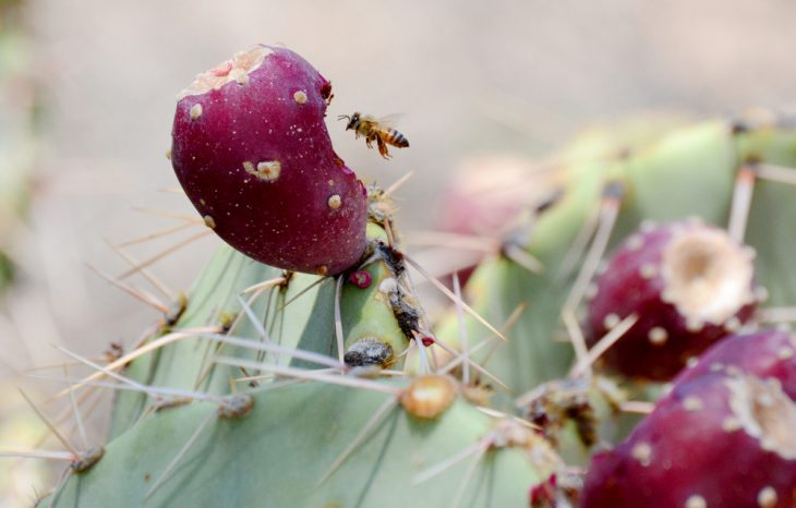 The Danger of Killer Bees in Arizona