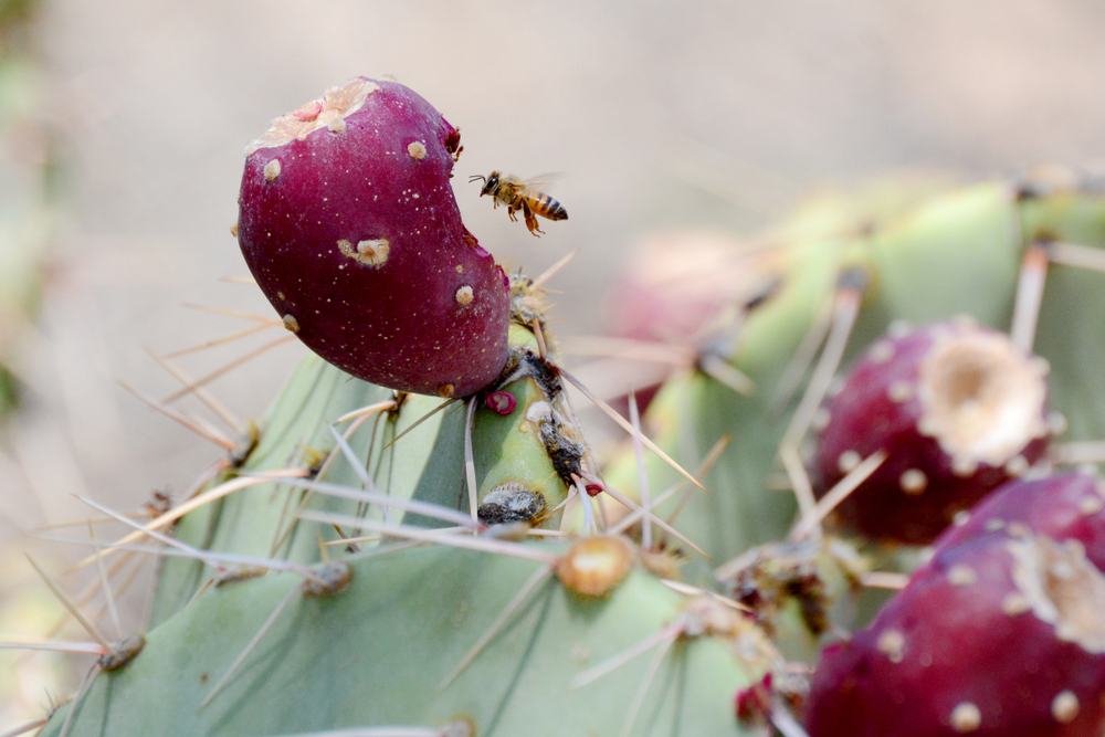 africanized killer bee in arizona on cactus