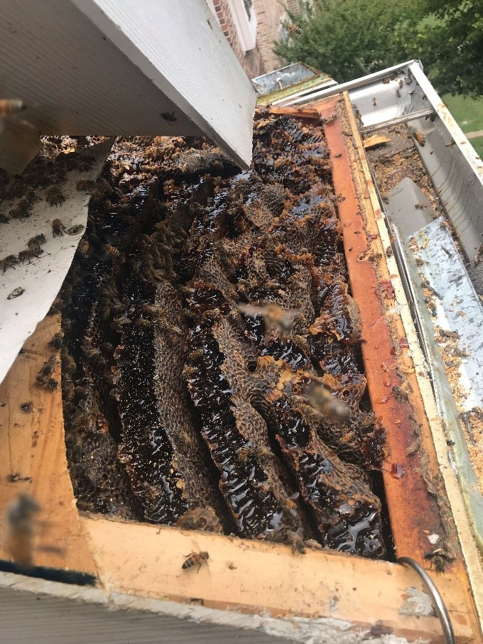 Bee Removal Plano