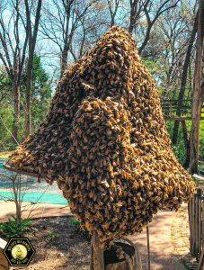 Bee Swarm Removal