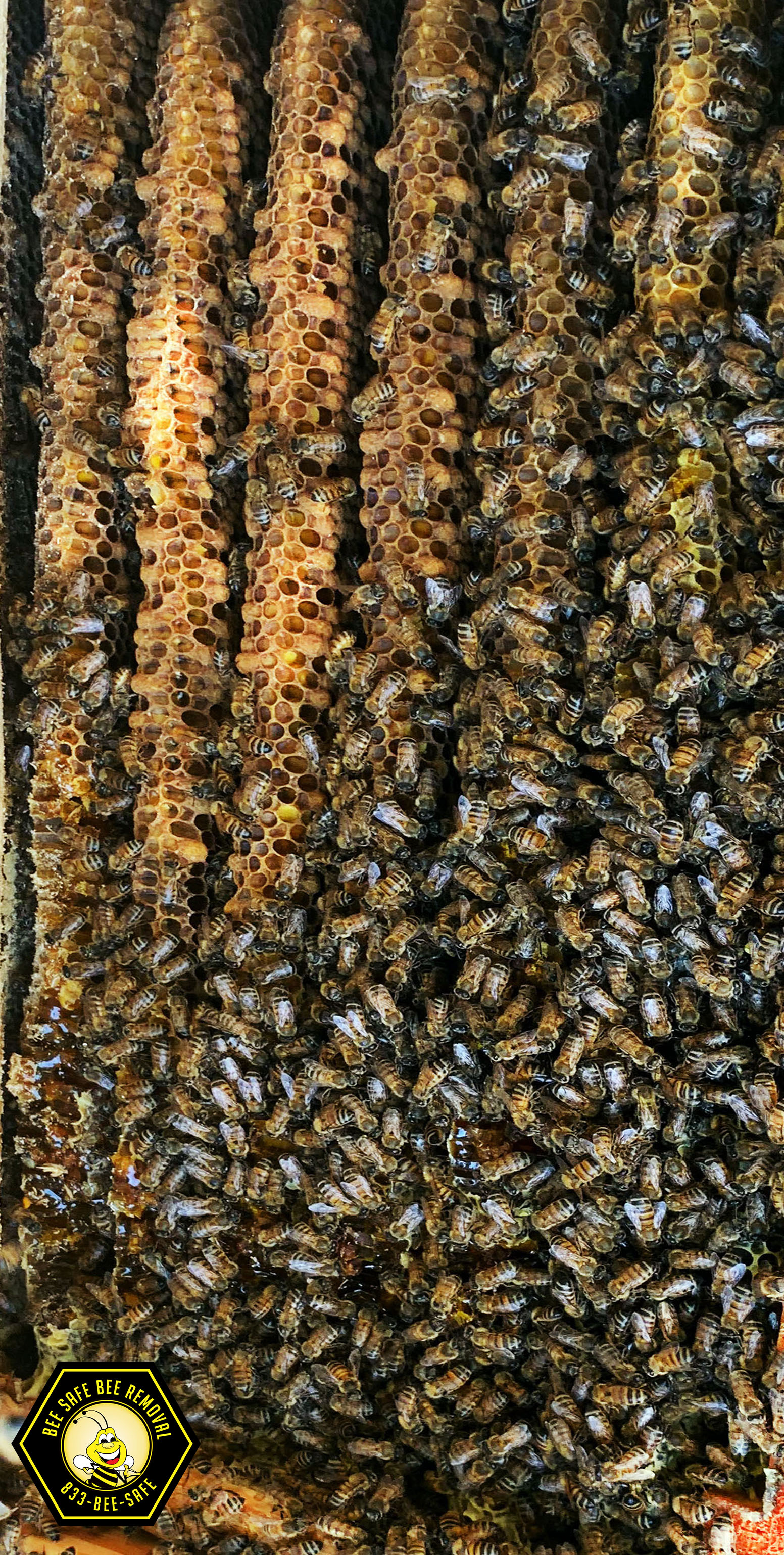 Giant beehive and wasp removal in Plano, Texas