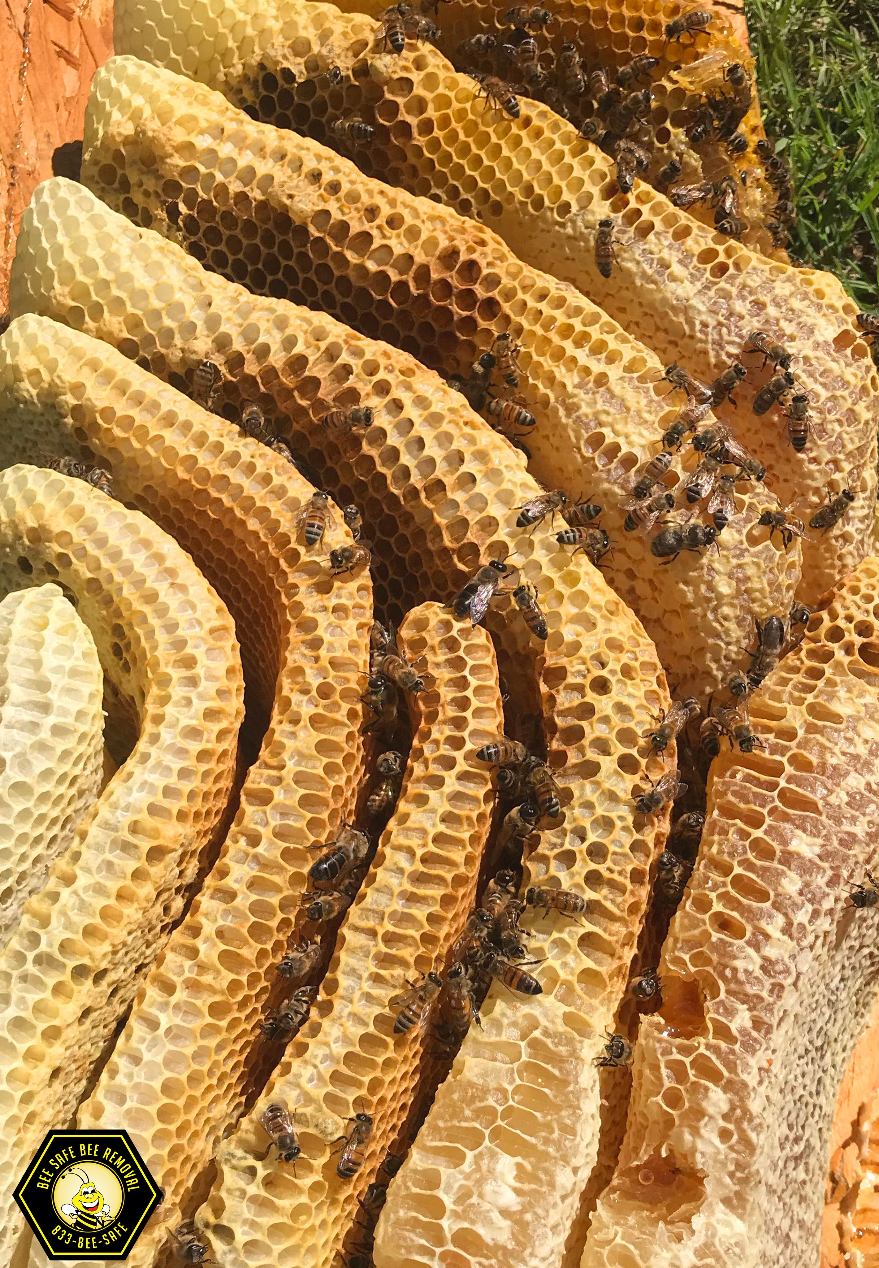Thousands of bees removed from Plano, Texas