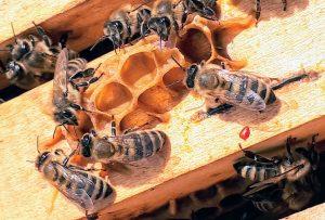Honey Bees In Houston