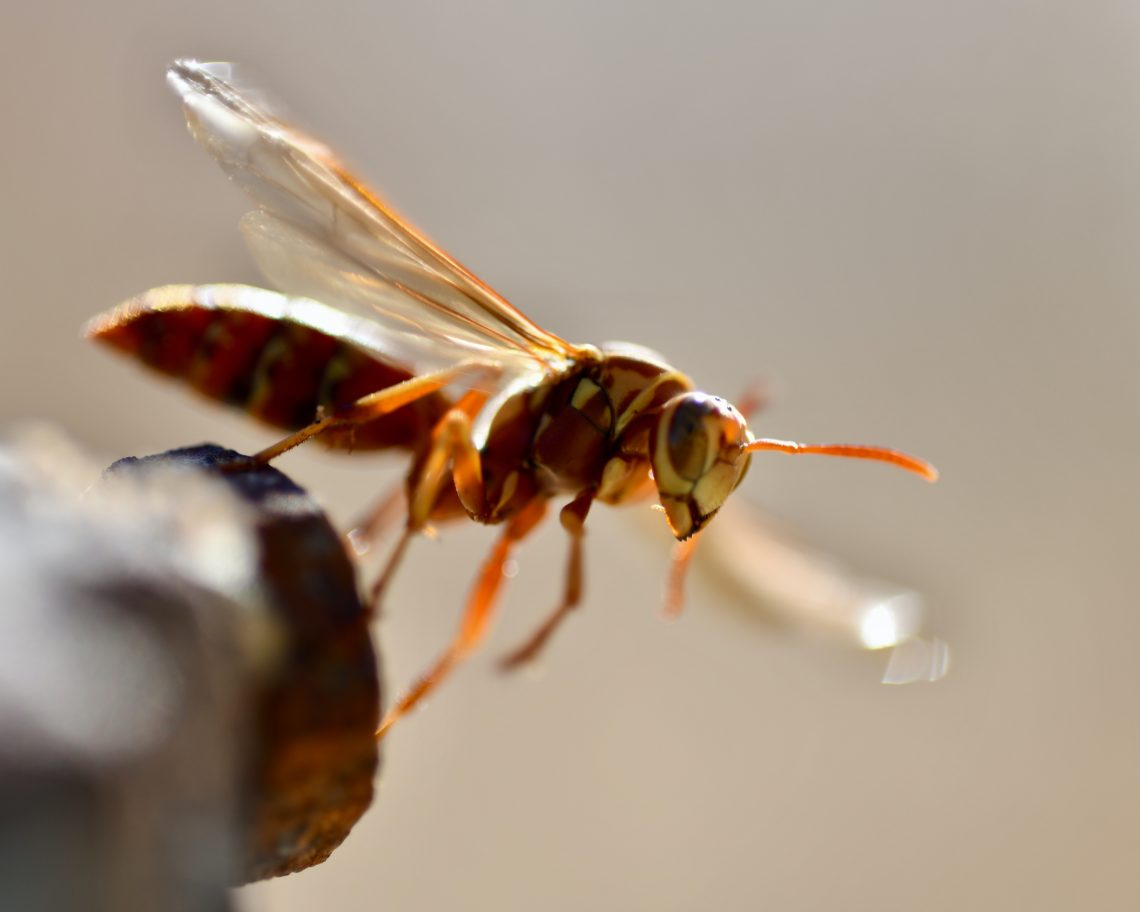 Wasp Removal Austin